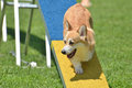 Pembroke Welsh Corgi at a Dog Agility Trial Royalty Free Stock Photo