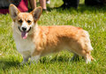 Pembroke welsh corgi dog exhibition moment Royalty Free Stock Photo