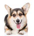 Pembroke Welsh Corgi dog looking at camera. isolated on white Royalty Free Stock Photo