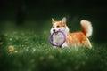 Pembroke welsh corgi dog running Royalty Free Stock Photo