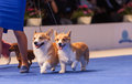 Pembroke welsh corgi july th paris france couple of corgis walking trough the show ring at the world dog show Royalty Free Stock Images