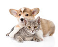 Pembroke Welsh Corgi puppy hugging cat. isolated on white Royalty Free Stock Photo