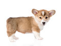 Pembroke Welsh Corgi puppy looking at camera. isolated on white Royalty Free Stock Photo