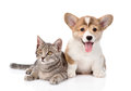 Pembroke Welsh Corgi puppy lying with cat together and looking at camera. isolated Royalty Free Stock Photo