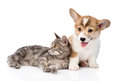 Pembroke Welsh Corgi puppy lying with cat together and looking at camera. isolated on white Royalty Free Stock Photo