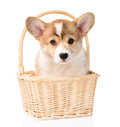 Pembroke Welsh Corgi puppy sitting in basket. isolated on white Royalty Free Stock Photo
