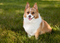 Pembroke welsh corgi sitting on lawn Royalty Free Stock Photography