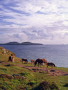 Pembrokeshire wild ponies a group of the that frequent the area of st davids head in wales ramsey island is in the distance Stock Photos