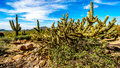 Pencil cactus is the semi desert landscape of Usery Mountain Regional Park near Phoenix Arizona Royalty Free Stock Photo