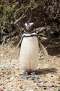 Penguin on beach Royalty Free Stock Photos