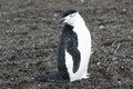Chinstrap Penguin Royalty Free Stock Photo