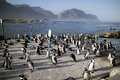 Penguin colony at Betty's Bay South Africa Royalty Free Stock Photo
