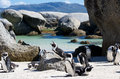 Penguin colony boulders of jackass penguins at boulder s beach near cape town Royalty Free Stock Photos