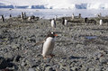 Penguin colony some penguins in antarctica just arrived from a swim Royalty Free Stock Photography