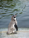 Penguin in copenhagen zoo denmark Royalty Free Stock Photos