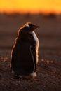 Penguin evenig scene in the orange sunset. Beautiful gentoo penguin with sun light. Penguin with evening light. Open penguin Royalty Free Stock Photo