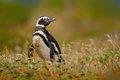 Penguin in grass, funny image in nature. Falkland Islands. Magellan penguin in the nature habitat. Royalty Free Stock Photo