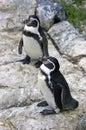 Penguin gumbolt bird vertebrate the point mammal beak points wings Royalty Free Stock Images
