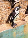 Penguin a little at a zoo Royalty Free Stock Photo