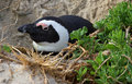 Penguin on nest Stock Photo