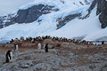Penguin rookery gentoo under snow covered mountains Royalty Free Stock Image