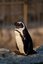 Penguin in Santander Royalty Free Stock Image