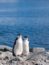 Penguin twin Royalty Free Stock Photo