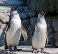 Penguins Royalty Free Stock Photo