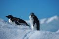 Penguins adelie antarctica two on the iceberg in Royalty Free Stock Photography