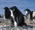 Penguins, Antarctica Royalty Free Stock Photo