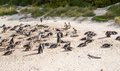 Penguins at the beach of atlantic ocean in south africa cape town Stock Images