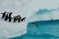 Penguins diving from iceberg into the water Stock Images