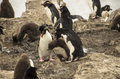 PENGUINS FAMILY FIGHT Stock Image