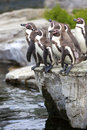 Penguins going for a swim. Stock Images