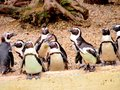 Penguins a group of little Royalty Free Stock Images