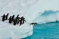 Penguins ready to jump antarctic into the water Stock Images