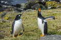 Penguins twp in kerguelen one is screaming Royalty Free Stock Photos