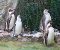 Penguins. Vienna Zoo. Austria Royalty Free Stock Photography