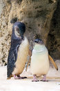 Penguins in the wildlife park in Perth Royalty Free Stock Photo