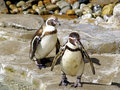 Penguins in Zoo Royalty Free Stock Images
