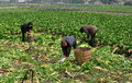 Pengzhou, China: Farm Workers in Field Royalty Free Stock Photo