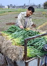 Pengzhou, China: Farmer with Garlic Plants Stock Photos