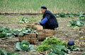 Pengzhou, China: Farmer Harvesting Cabbages Royalty Free Stock Images