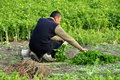 Pengzhou, China: Farmer Harvesting Parsley