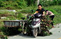 Pengzhou china man on motorbike with vines a loaded sweet potato driving along a country road in Stock Photography