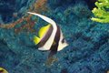 Pennant coral fish the coralfish heniochus acuminatus also known as the longfin bannerfish reef bannerfish or coachman is a Royalty Free Stock Photos