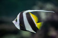 Pennant coralfish heniochus acuminatus also known as the reef bannerfish or coachman wild life animal Stock Image