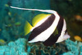 Pennant coralfish heniochus acuminatus in japan Royalty Free Stock Photos