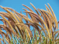 Pennisetum pedicellatum trin flower grass background Royalty Free Stock Photo