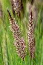 Pennisetum setaceum a perennial bunch grass native to open scrubby habitats in east africa tropical africa middle east and sw asia Stock Photography